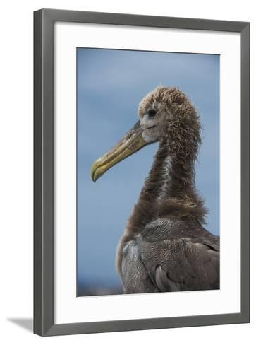 Waved Albatross Juvenile, Espanola Island, Galapagos Islands, Ecuador-Pete Oxford-Framed Art Print