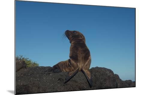 Galapagos Sea Lion Pup, Galapagos, Ecuador-Pete Oxford-Mounted Photographic Print
