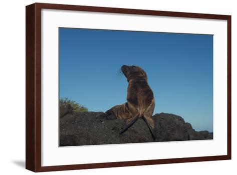 Galapagos Sea Lion Pup, Galapagos, Ecuador-Pete Oxford-Framed Art Print