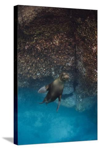 Galapagos Sea Lion Underwater, Galapagos, Ecuador-Pete Oxford-Stretched Canvas Print