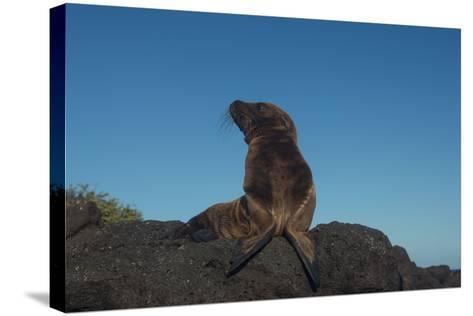 Galapagos Sea Lion Pup, Galapagos, Ecuador-Pete Oxford-Stretched Canvas Print