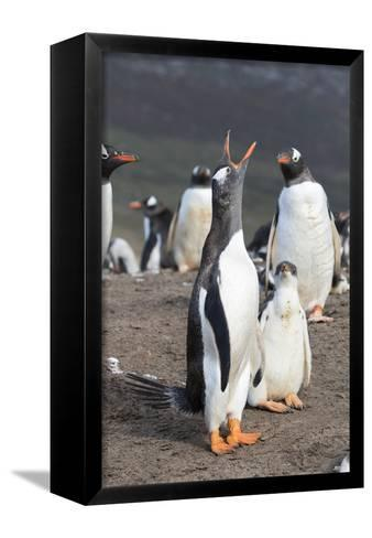 Gentoo Penguin on the Falkland Islands, Half Grown Chick with Parent-Martin Zwick-Framed Canvas Print