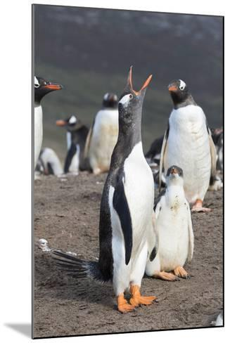 Gentoo Penguin on the Falkland Islands, Half Grown Chick with Parent-Martin Zwick-Mounted Photographic Print