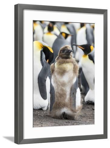 King Penguin, Falkland Islands. Chick Loosing Typical Brown Plumage-Martin Zwick-Framed Art Print