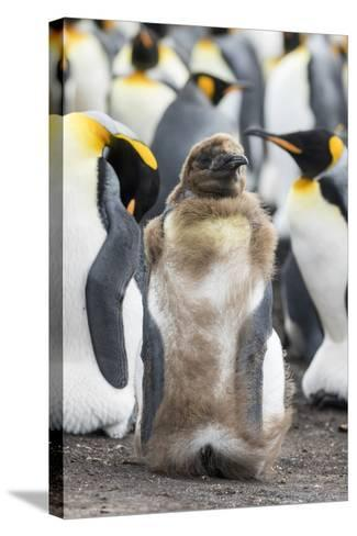 King Penguin, Falkland Islands. Chick Loosing Typical Brown Plumage-Martin Zwick-Stretched Canvas Print
