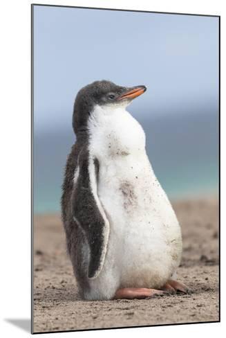 Gentoo Penguin on the Falkland Islands, Half Grown Chicks-Martin Zwick-Mounted Photographic Print