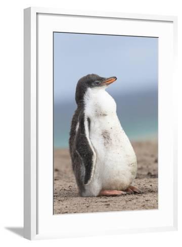 Gentoo Penguin on the Falkland Islands, Half Grown Chicks-Martin Zwick-Framed Art Print