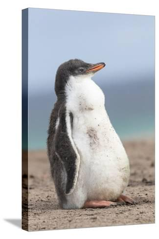 Gentoo Penguin on the Falkland Islands, Half Grown Chicks-Martin Zwick-Stretched Canvas Print