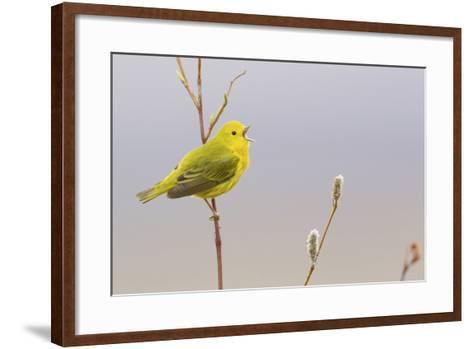 Yellow Warbler Singing-Ken Archer-Framed Art Print