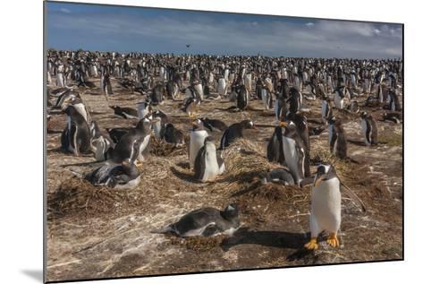 Falkland Islands, Sea Lion Island. Gentoo Penguin Colony-Cathy & Gordon Illg-Mounted Photographic Print
