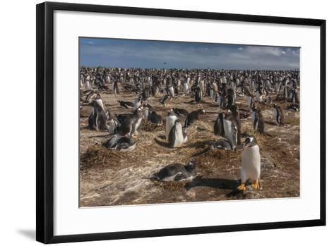 Falkland Islands, Sea Lion Island. Gentoo Penguin Colony-Cathy & Gordon Illg-Framed Art Print
