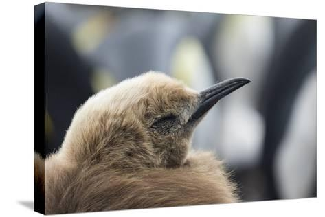 Falkland Islands. King Penguin Chick in Typical Brown Plumage-Martin Zwick-Stretched Canvas Print