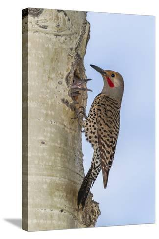 Colorado, Rocky Mountain NP. Red-Shafted Flicker Outside Tree Nest-Cathy & Gordon Illg-Stretched Canvas Print