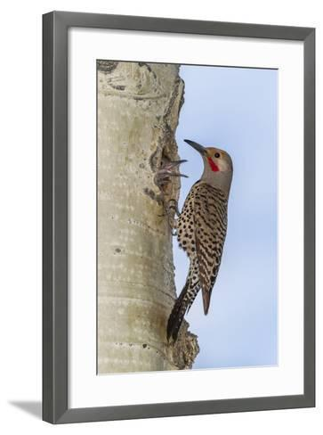 Colorado, Rocky Mountain NP. Red-Shafted Flicker Outside Tree Nest-Cathy & Gordon Illg-Framed Art Print