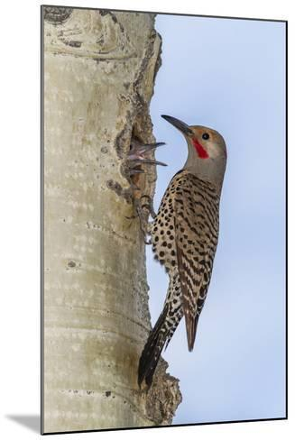 Colorado, Rocky Mountain NP. Red-Shafted Flicker Outside Tree Nest-Cathy & Gordon Illg-Mounted Photographic Print