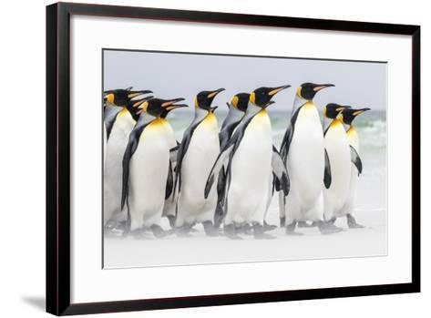 Falkland Islands, South Atlantic. Group of King Penguins on Beach-Martin Zwick-Framed Art Print