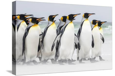 Falkland Islands, South Atlantic. Group of King Penguins on Beach-Martin Zwick-Stretched Canvas Print