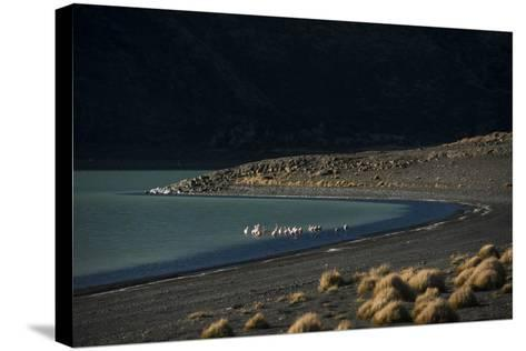 Flamingo on Blue Lake, Torres del Paine, Patagonia, Magellanic, Chile-Pete Oxford-Stretched Canvas Print