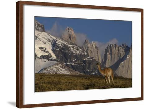 Guanaco with Cordiera del Paine in Back, Patagonia, Magellanic, Chile-Pete Oxford-Framed Art Print