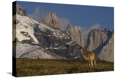 Guanaco with Cordiera del Paine in Back, Patagonia, Magellanic, Chile-Pete Oxford-Stretched Canvas Print