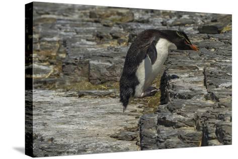 Falkland Islands, Bleaker Island. Rockhopper Penguin-Cathy & Gordon Illg-Stretched Canvas Print
