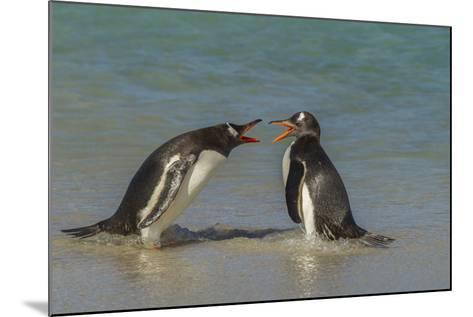 Falkland Islands, Bleaker Island. Gentoo Penguins Arguing-Cathy & Gordon Illg-Mounted Photographic Print