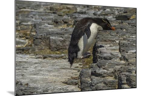 Falkland Islands, Bleaker Island. Rockhopper Penguin-Cathy & Gordon Illg-Mounted Photographic Print