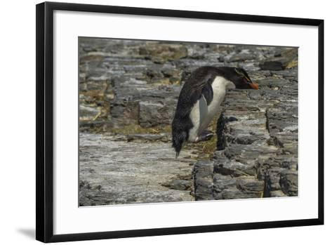 Falkland Islands, Bleaker Island. Rockhopper Penguin-Cathy & Gordon Illg-Framed Art Print