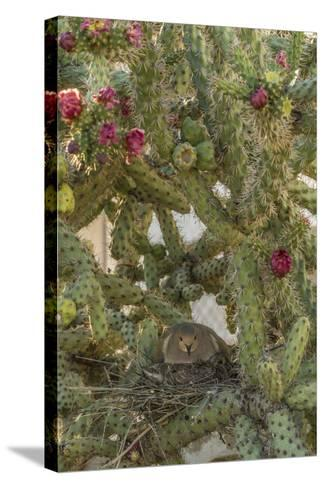 USA, Arizona, Sonoran Desert. Mourning Dove with Chick on Nest-Cathy & Gordon Illg-Stretched Canvas Print