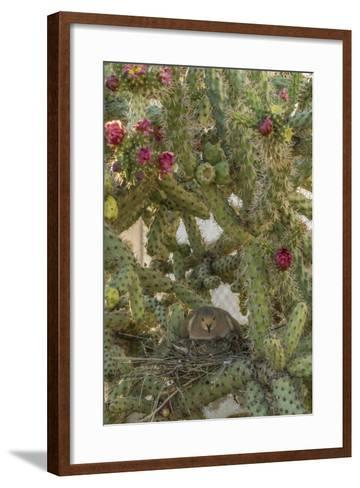 USA, Arizona, Sonoran Desert. Mourning Dove with Chick on Nest-Cathy & Gordon Illg-Framed Art Print
