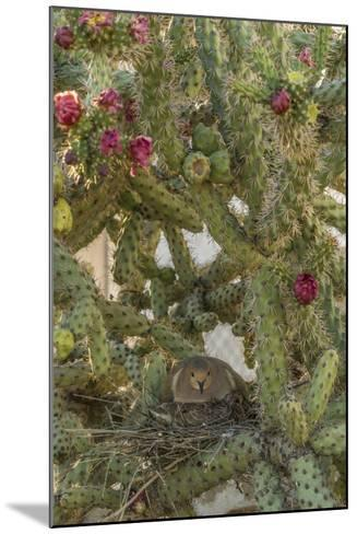 USA, Arizona, Sonoran Desert. Mourning Dove with Chick on Nest-Cathy & Gordon Illg-Mounted Photographic Print
