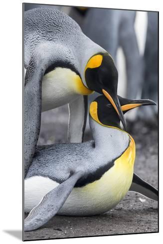 King Penguin, Falkland Islands, South Atlantic. Mating-Martin Zwick-Mounted Photographic Print