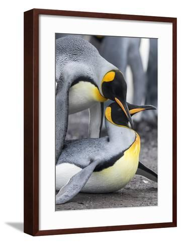 King Penguin, Falkland Islands, South Atlantic. Mating-Martin Zwick-Framed Art Print