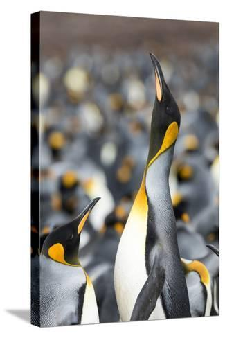 Falkland Islands, South Atlantic. King Penguin Trumpeting-Martin Zwick-Stretched Canvas Print