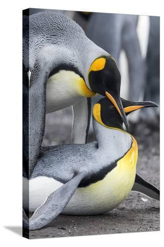King Penguin, Falkland Islands, South Atlantic. Mating-Martin Zwick-Stretched Canvas Print