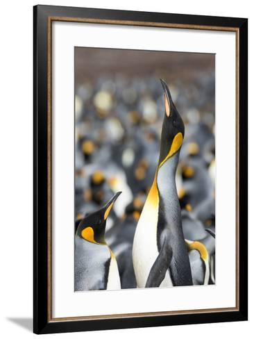 Falkland Islands, South Atlantic. King Penguin Trumpeting-Martin Zwick-Framed Art Print