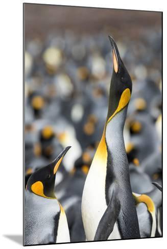 Falkland Islands, South Atlantic. King Penguin Trumpeting-Martin Zwick-Mounted Photographic Print