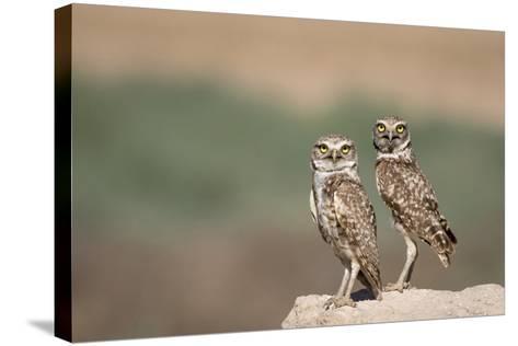 USA, Arizona, Buckeye. a Pair of Burrowing Owls-Wendy Kaveney-Stretched Canvas Print