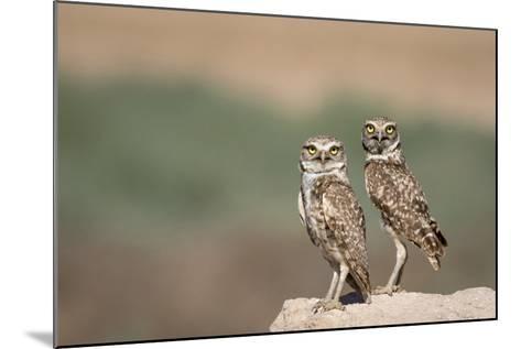 USA, Arizona, Buckeye. a Pair of Burrowing Owls-Wendy Kaveney-Mounted Photographic Print