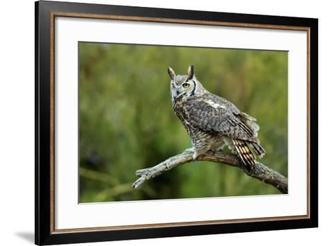 Great Horned Owl, also known as the Tiger Owl-Richard Wright-Framed Art Print