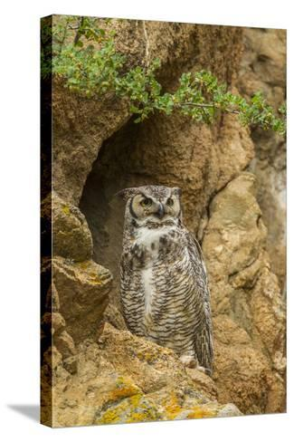 USA, Colorado, Larimer County. Great Horned Owl on Rocky Ledge-Cathy & Gordon Illg-Stretched Canvas Print