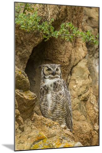 USA, Colorado, Larimer County. Great Horned Owl on Rocky Ledge-Cathy & Gordon Illg-Mounted Photographic Print
