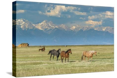 Heard of Horses in Hayfield, San Luis Valley-Howie Garber-Stretched Canvas Print