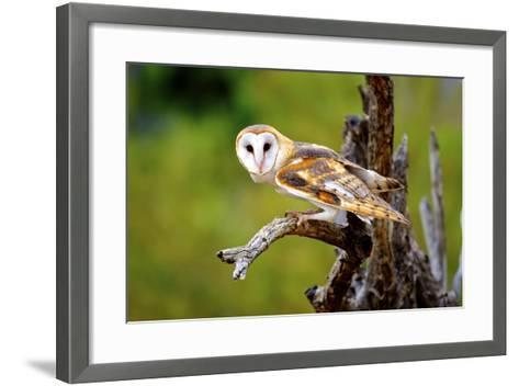 A Barn Owl (Tyto Alba) Perching-Richard Wright-Framed Art Print
