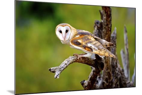 A Barn Owl (Tyto Alba) Perching-Richard Wright-Mounted Photographic Print
