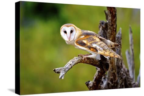A Barn Owl (Tyto Alba) Perching-Richard Wright-Stretched Canvas Print