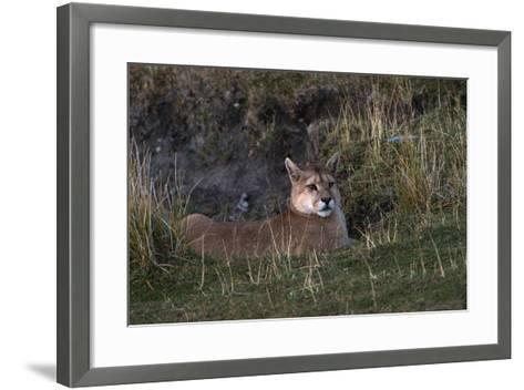 Puma Waiting, Torres del Paine NP, Patagonia, Magellanic Region, Chile-Pete Oxford-Framed Art Print