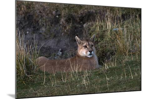 Puma Waiting, Torres del Paine NP, Patagonia, Magellanic Region, Chile-Pete Oxford-Mounted Photographic Print