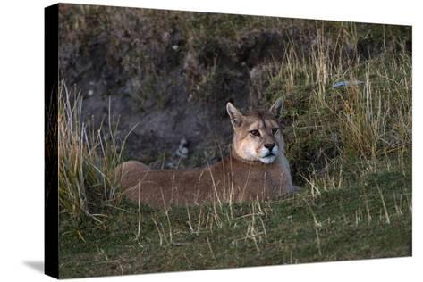 Puma Waiting, Torres del Paine NP, Patagonia, Magellanic Region, Chile-Pete Oxford-Stretched Canvas Print