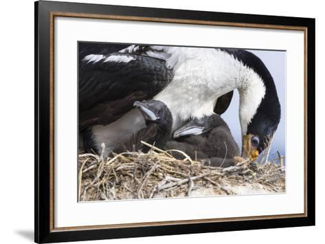 Imperial Shag in a Huge Rookery. Adult with Chick. Falkland Islands-Martin Zwick-Framed Art Print